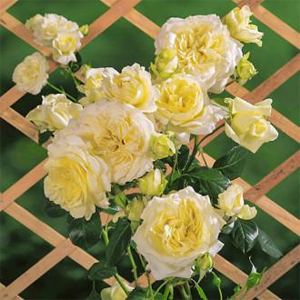 Роза плетистая Эльф изображение 1
