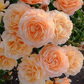 Роза плетистая Эприкот Скай