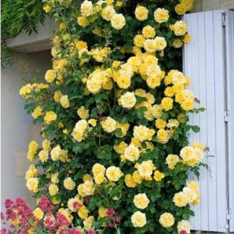 Роза плетистая Голден Шауэрс изображение 2