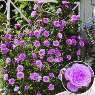 Роза плетистая Голубая Мечта изображение 6