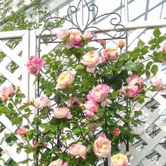 Роза плетистая Импрессионист изображение 1