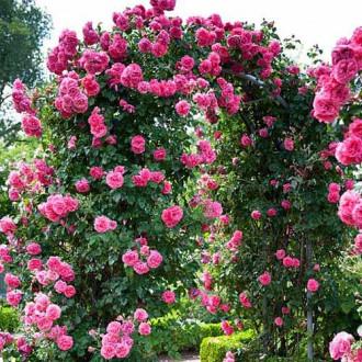 Роза плетистая Индиголетта изображение 7