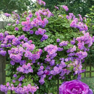 Роза плетистая Индиголетта изображение 8