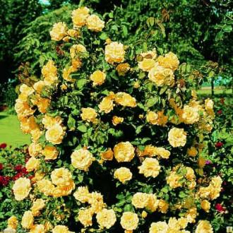 Роза плетистая Казино изображение 2