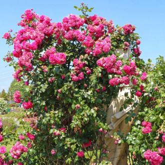 Роза плетистая Лагуна изображение 6