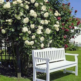 Роза плетистая Мон Блан изображение 1