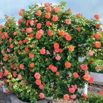 Роза плетистая Оранж Лемон изображение 7
