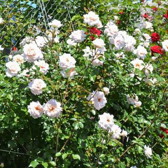 Роза плетистая Пенни Лейн изображение 1
