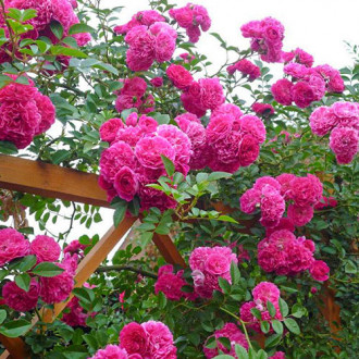Роза плетистая Пинк Мушимара изображение 6