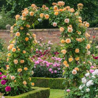 Роза плетистая Принцесса Маргарет изображение 8