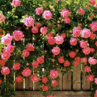 Роза плетистая Розовая жемчужина изображение 2