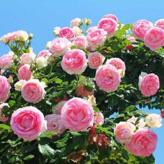 Роза плетистая Розовая крупная