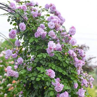 Роза плетистая Си-Си изображение 2
