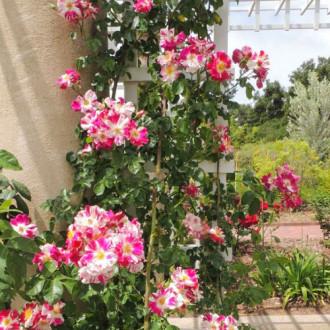 Роза плетистая Твист изображение 3