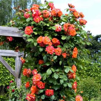 Роза плетистая Вестерленд