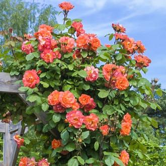 Роза плетистая Вестерленд изображение 8