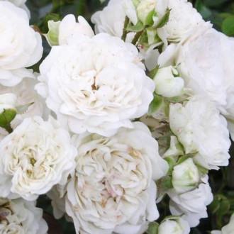 Роза почвопокровная Дварф Вайт