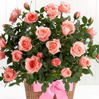 Роза спрей Лидия изображение 4