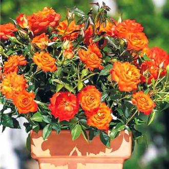 Роза спрей Мандарин