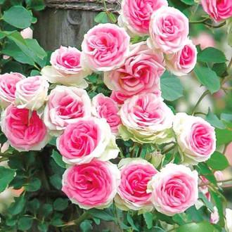 Роза спрей Мими Эден