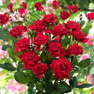 Роза спрей Мирабель изображение 7