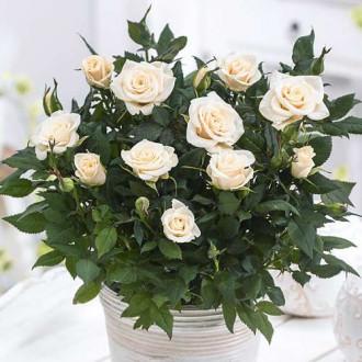 Роза спрей Сноу Дэнс