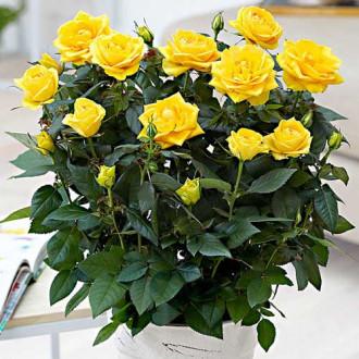 Роза спрей Йеллоу Стар изображение 7