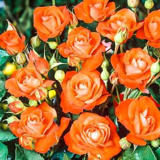 Роза флорибунда Оранж Сенсейшн изображение 5