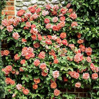 Роза плетистая Алоха изображение 4