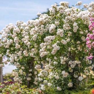 Роза плетистая Айсберг изображение 8