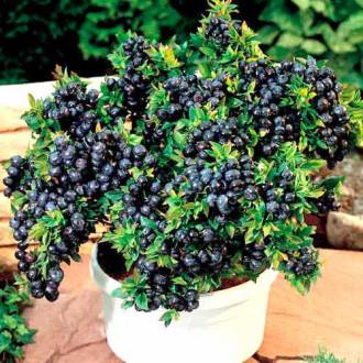Черника садовая Топ Хат изображение 2