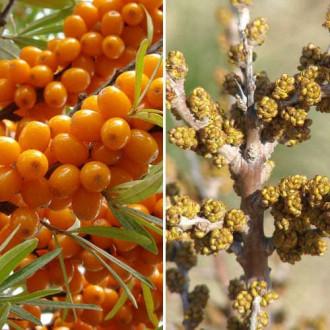 Облепиха Оранжевая сила: муж.(1) + жен.(1) изображение 2