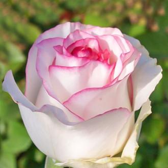 Роза чайно-гибридная Дольче Вита изображение 2
