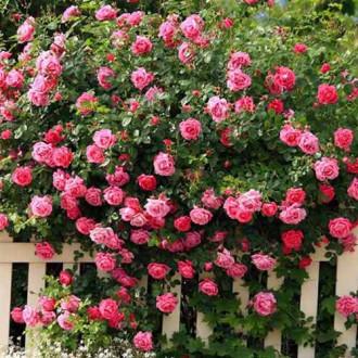 Роза плетистая Розовая изображение 3