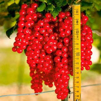 Смородина красная Ровада изображение 5
