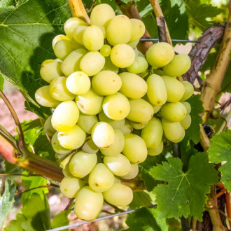 Виноград Макси белый изображение 7