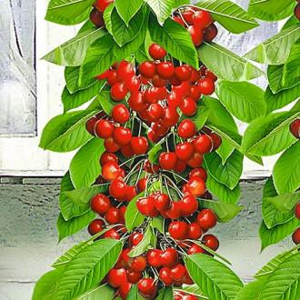 Черешня колоновидная красная изображение 2