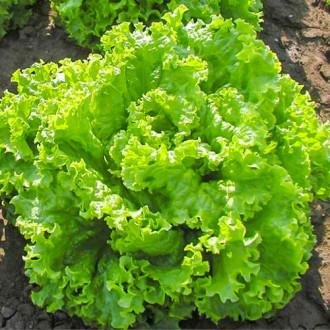 Салат листовой Мама Мия изображение 2