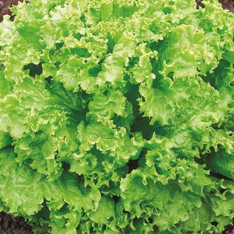 Салат листовой Вологодские кружева