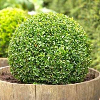 Самшит вечнозеленый изображение 1