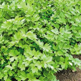 Сельдерей листовой Пучковый изображение 7
