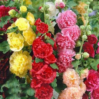 Шток-роза Чатерс, смесь окрасок изображение 6