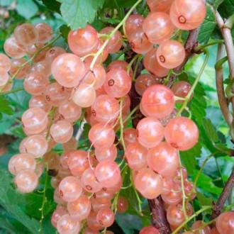 Смородина розовая Розовый жемчуг