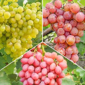 Суперпредложение! Комплект бессемянного винограда из 3 сортов изображение 5