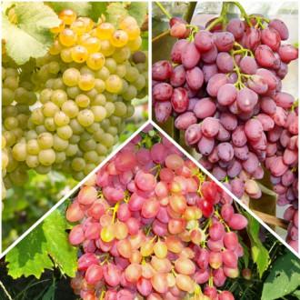 Суперпредложение! Комплект бессемянного винограда из 3 сортов изображение 3