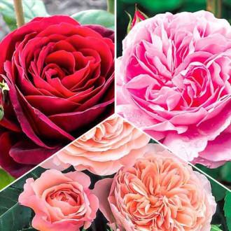 Суперпредложение! Комплект английских роз Триколор из 3 сортов изображение 1