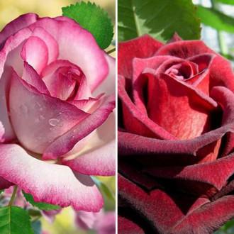 Суперпредложение! Комплект чайно-гибридных роз Блэк энд Вайт из 2 сортов изображение 5
