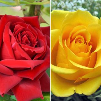 Суперпредложение! Комплект чайно-гибридных роз Дуо из 2 сортов изображение 3