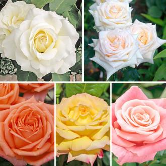 Суперпредложение! Комплект чайно-гибридных роз Парфюм из 5 сортов изображение 3