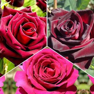 Суперпредложение! Комплект чайно-гибридных роз Триколор из 3 сортов